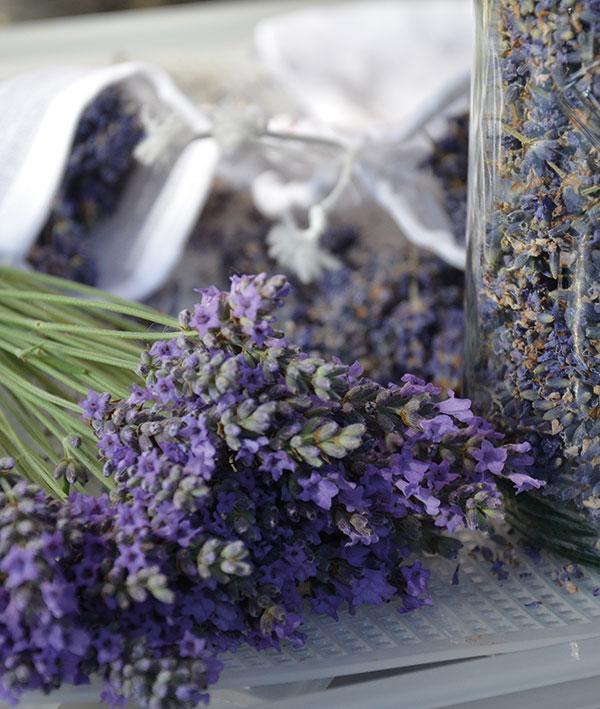 Lavendel informatie